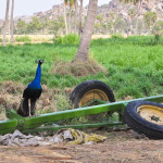 birds of hampi